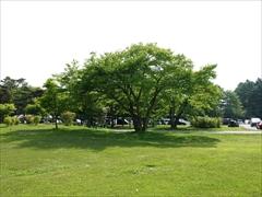 テニスコート付近 新緑