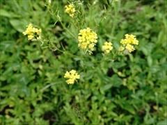 ナノハナ(菜の花)