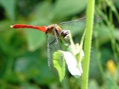 アキアカネ(蜻蛉)