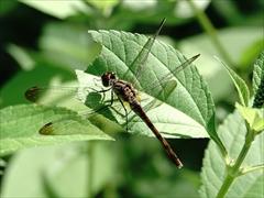 ノシメトンボ(蜻蛉)