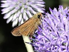 イチモンジセセリ(蝶)