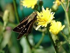 オオチャバネセセリ(蝶)