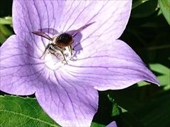 ミツバチ(蜂)