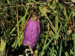 ヤマホタルブクロ(山蛍袋)