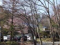 駐車場の桜から村民食堂