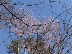 軽井沢小鳥の森の山桜
