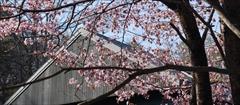 軽井沢 村民食堂 桜