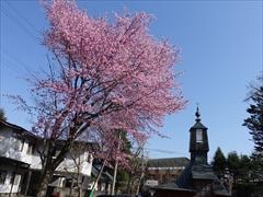 聖パウロカトリック教会の裏 桜