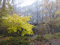 軽井沢 石の教会 ダンコウバイ 黄葉