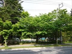 軽井沢 サクラ 新緑
