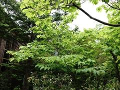 軽井沢 ダンコウバイ(檀香梅)