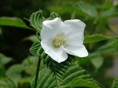 軽井沢 シロヤマブキ(白山吹)花