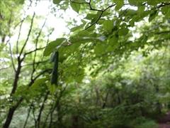 ハマキ蛾が巻いた葉