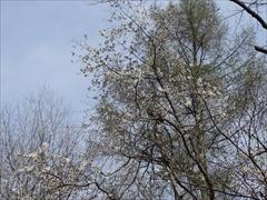 軽井沢 野鳥の森 コブシの花