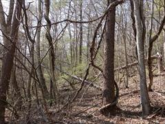 軽井沢 野鳥の森 山ブドウの蔓