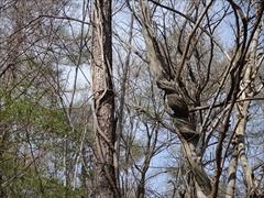 軽井沢 野鳥の森 フジの蔓
