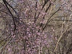 軽井沢 野鳥の森 山桜 満開
