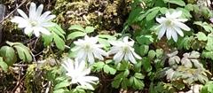 軽井沢 野鳥の森 アズマイチゲ