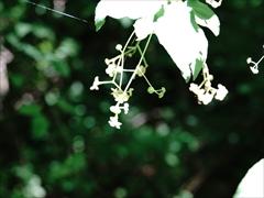 軽井沢 湯川ふるさと公園 ツリバナ(吊り花)