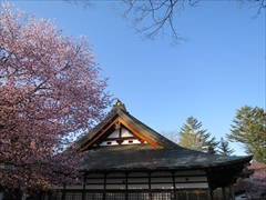 神宮寺本殿ヤマザクラ