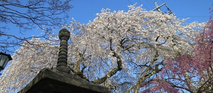 軽井沢神宮寺の枝垂れ桜が満開になっています