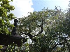 神宮寺 枝垂れ桜
