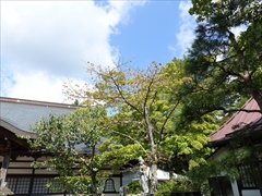 神宮寺本殿のモミジ