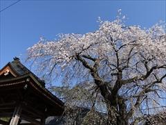 神宮寺入口 枝垂れ桜 満開