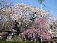 神宮寺境内 枝垂れ桜 満開