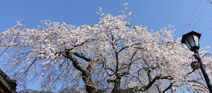 軽井沢 神宮寺の枝垂れ桜が満開になっています 2018年4月21日