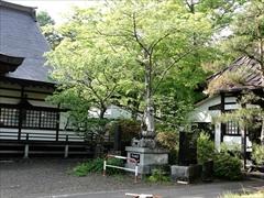 本殿右側の山桜の新緑