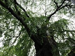 神宮寺の枝垂れ桜