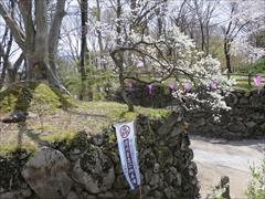 小諸城址 二の丸跡 桜