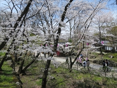 小諸城址 南丸跡 桜