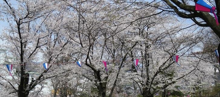 小諸城址 南丸跡の広場の桜も満開