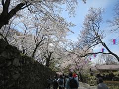 小諸城址 南丸跡付近 桜