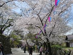 小諸城址 稲荷神社付近 桜