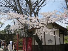 小諸城址 稲荷神社 桜
