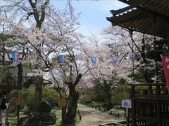 小諸城址 鏡石 桜