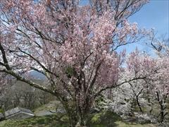 小諸城址 天守台 桜