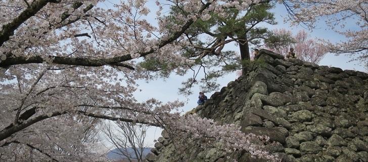 小諸城址 満開の桜越しに天守台跡を見上げる