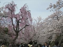 小諸城址 小諸八重紅枝垂桜