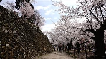 小諸城址 桜 満開