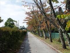 軽井沢 大賀ホール側道 桜並木紅葉