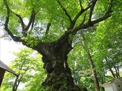 熊野皇大神社 シナノキ 若葉 新緑 軽井沢