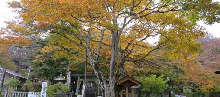 熊野皇大神社の紅葉が黄色く輝いています