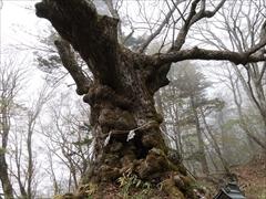 熊野皇大神社 シナノキ