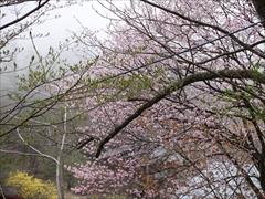 隣地の山桜が満開
