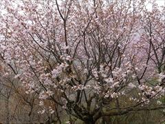 しげの屋 展望台 桜満開