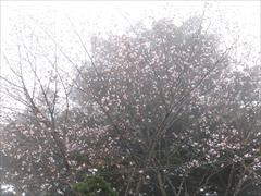 見晴台 あづまや 山桜